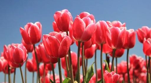 La burbuja de los bulbos de tulipán